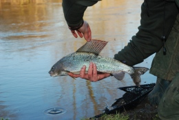 A Big Grayling