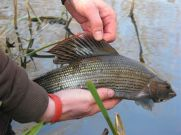 A good grayling