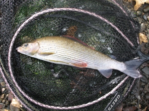 A decent grayling