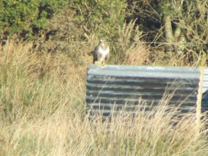 Geoff or Dan...no it's just a buzzard not an old one!! :-)