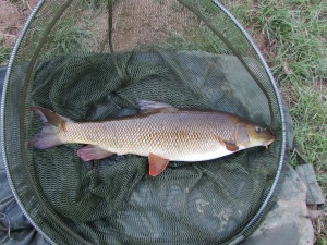 A typical dark, bronzed Wye barbel
