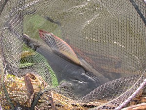 The grayling's beautiful and distinctive sail like dorsal