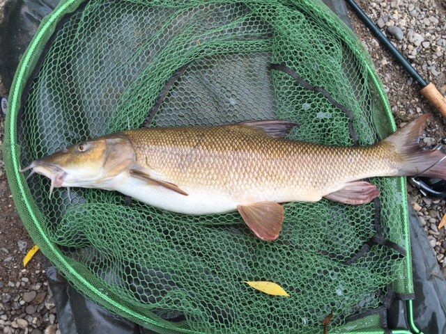 chub and barbel fishing